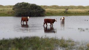 Hereford koeien Ameland
