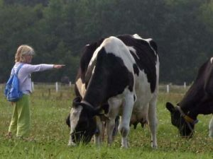 Adopteer een koe uit Friesland