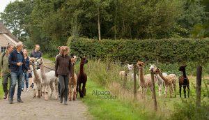 The Alpaca Experience voor groepen in Drenthe
